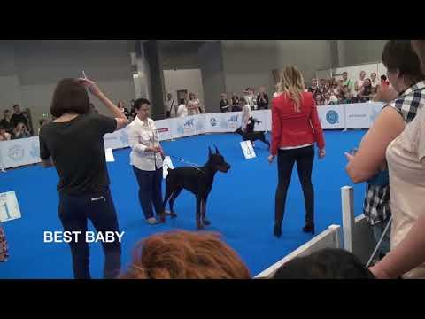 World Dog Show 2016. класс бэби. Первая большая победа.