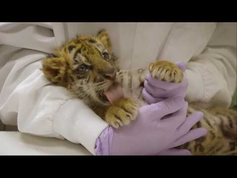 Tiger cub rescued from a teenage American smuggler