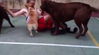 7 Months No Fear Welsh Corgi Mocha Wrestling Black Labrador