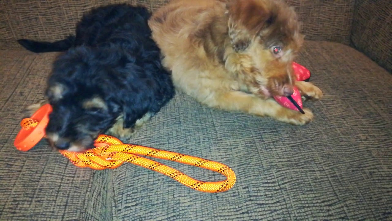Aussiedoodle Puppies for Sale from Reputable Dog Breeders