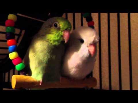 How My Birds Sleep At Night...:)