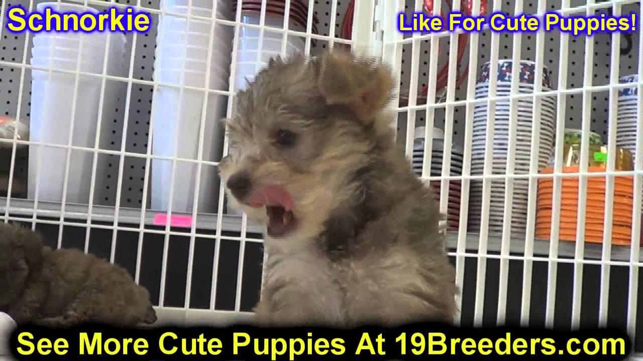 Schnorkie, Puppies, For, Sale, In, Boise City, Idaho, ID, Rexburg, Post  Falls, Lewiston, Twin Falls