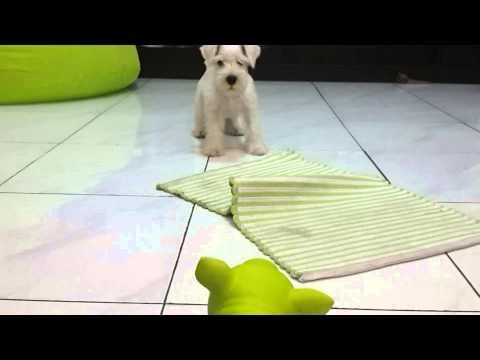 Mini Schnauzer vs piggy toy