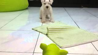 Mini Schnauzer Vs Piggy Toy