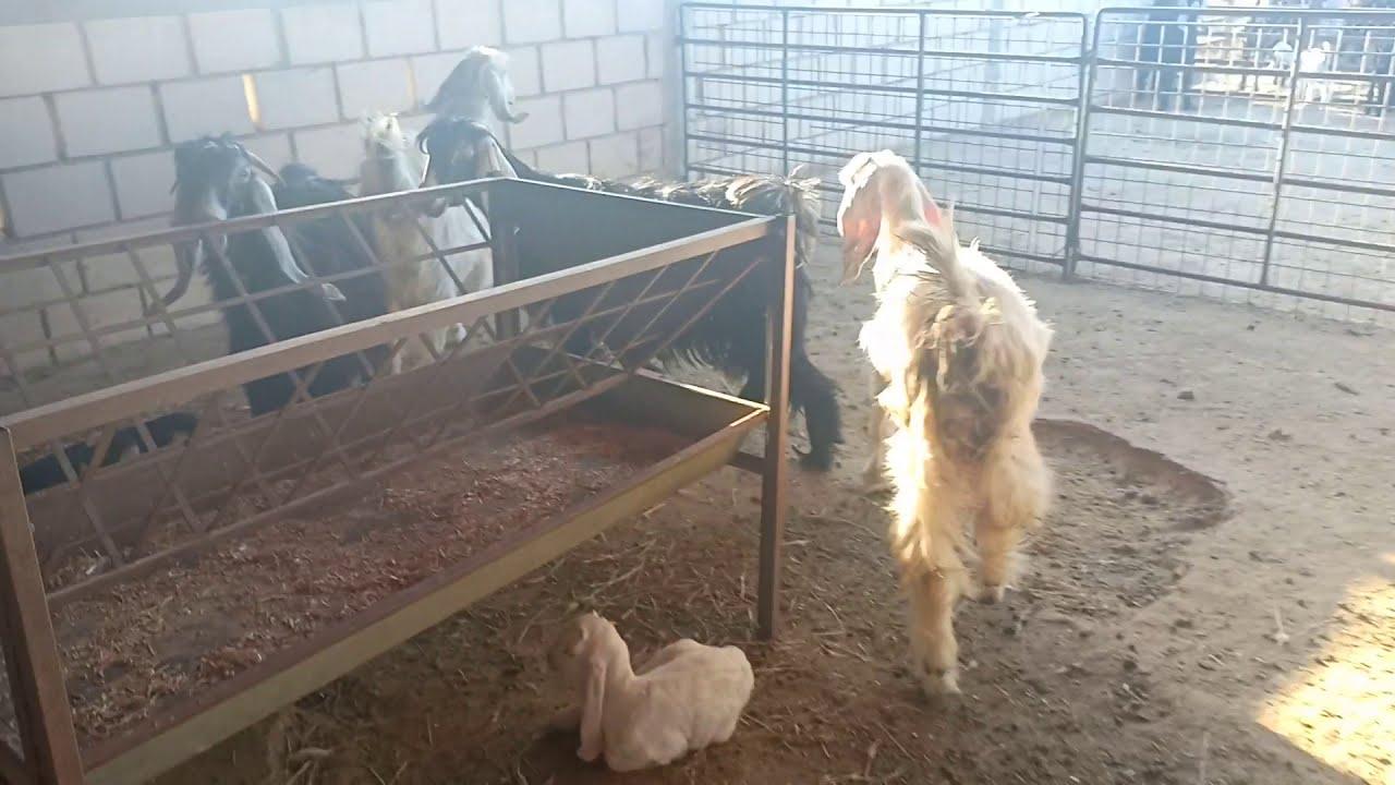ماشاء الله صغار الماعز حديثة الولادة 😍