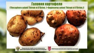 Головня картофеля (Thecaphora solani Thirum et O'Brien. (=Angiosorus solani Thirum et O'Brien.))