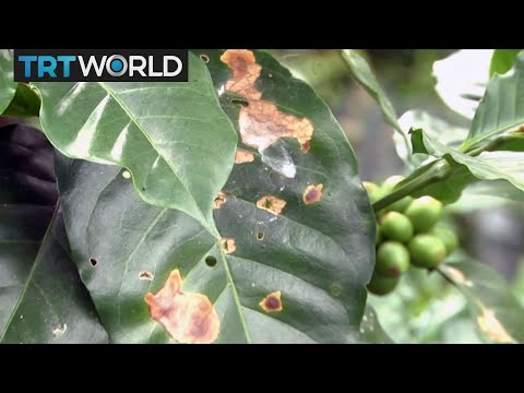 Money Talks: Coffee production volumes drop due to climate change in Colombia