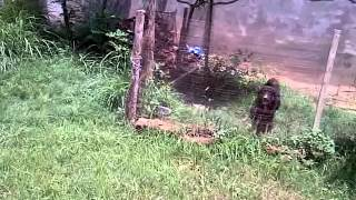 pakhwal jhelum bakarwal dog of waqas jatt