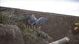 shoebill、高台で遊ぶカシシ@神戸どうぶつ王国ハシビロコウ thumbnail