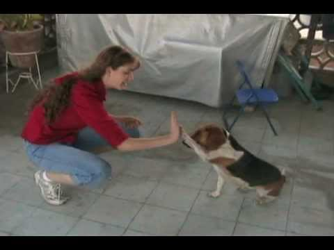 Amazing Dog Tricks - Beagle