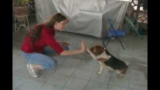 Amazing Dog Tricks - Beagle