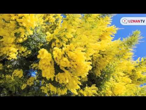 Mimoza ağacının çiçeği nasıldır?
