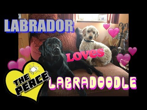 Our Dog Percy The Labrador Retriever plays with Labradoodle Puppy - cute, funny dogs.