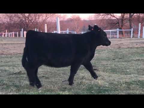 Lot 2 Stock Broker Heifer | 12.13 SC