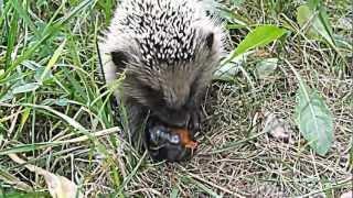 Jeż je śliwkę/ Hedgehog eats a plum
