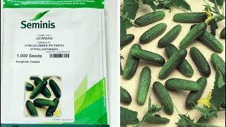 Профессиональные семена: огурцы Герман и Кураж