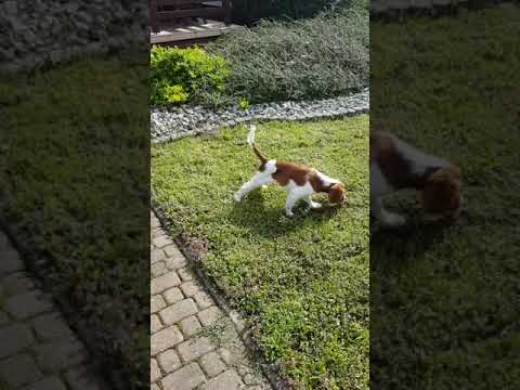 Young welsh springer spaniel Darwin The Dog
