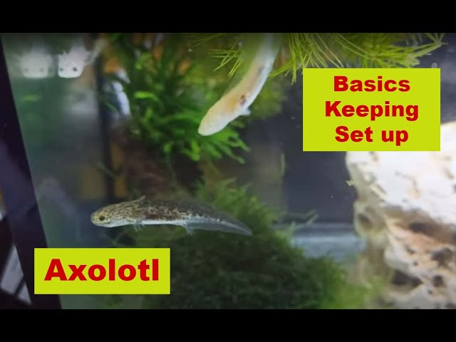 Axolotl Basics , Keeping & Set up| Feeders Strs 77