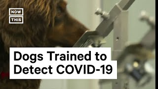Sniffer Dogs Detect COVID-19