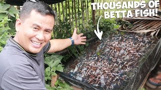 Thousands of BETTA FISH in one small tank! UNBELIEVABLE!