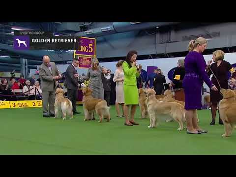 Golden Retriever (Part 3) | Breed Judging (2019)