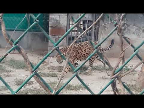New jaguar in national zoolovical park delhi 2018