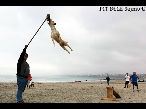 Amazing pappy Pit Bull TUNA Dog from Albania part 1 Dogs activities 2014