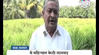 Prakash sawant ginger farming success story palghar saam tv