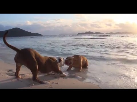 Pitbull and Bully Puppies Tug of War on the Beach