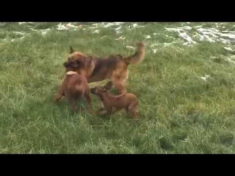 фото ячмень у собаки