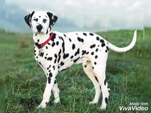 About the Dalmatian Dog breed in hindi.