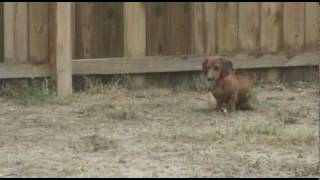 Dachshund Hunting & Killing
