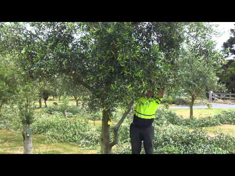Telegraph Hill Olive tree pruning video 2