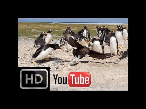 Wild Skua attacking to Little Penguin - Amazing Wildlife Attack►► Vahşi Martı Penguene Saldırıyor.