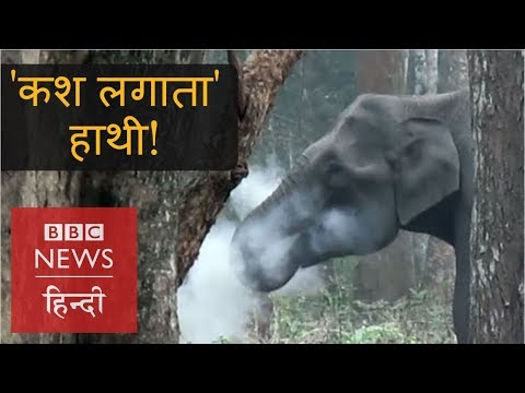 What Is The Truth Behind 'Smoking Elephant' In India? (BBC Hindi)