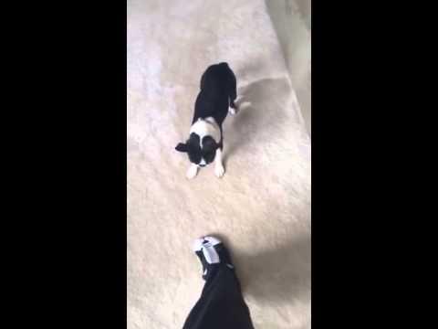 b9e694cde77 Dolly The Boston Terrier Meets Boston Terrier Slippers - YouTube