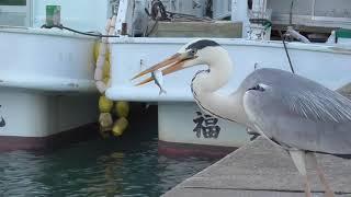 サビキで釣ったばかりの小サバを鷺に与える。Feed the mackerel just caught. Japanese fishing landscape.