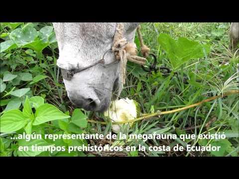 Los predadores de los frutos de Cucurbita ecuadorensis (Cucurbitaceae)
