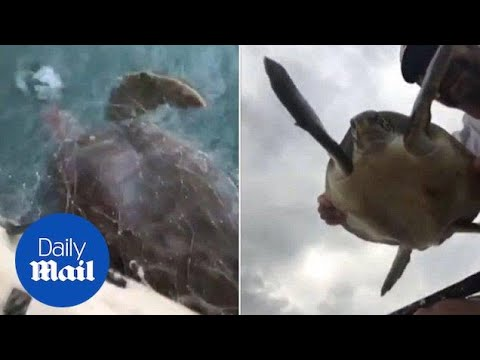 Hero Canoeist Rescues Drowning Sea Turtles Trapped In Fishing Nets