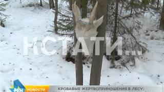 Кровавые жертвоприношения в лесу - головы животных развесили на деревьях