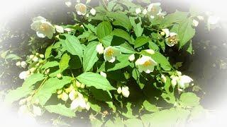 Смотреть Майские #цветы онлайн