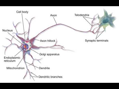 Neural network (biological) | Wikipedia audio article