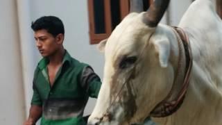 Big Cow Qurbani Bangladesh-2014, Part-4