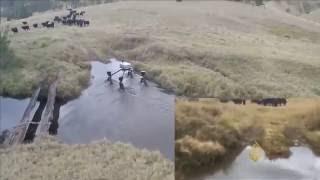 روبوت لقيادة قطعان الماشية في أستراليا
