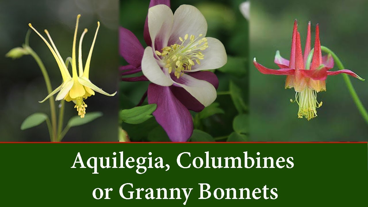 Aquilegia columbines or granny bonnet plants youtube aquilegia columbines or granny bonnet plants izmirmasajfo