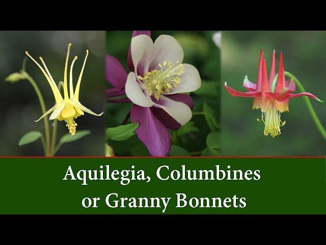Aquilegia, Columbines or Granny Bonnet  Plants