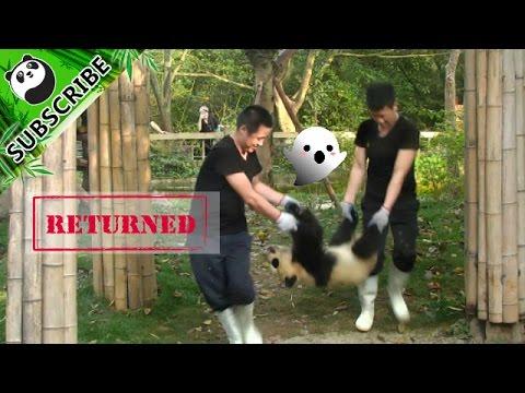 【Panda Top3】It takes two strong men to take one panda home!