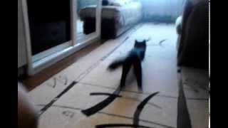 Смотреть всем! Класс! Дрессированная кошка!