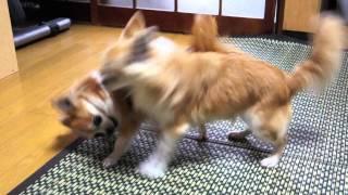 せわしいチワワの喧嘩をしれっと見ている猫たちです(笑)お互いの関係...