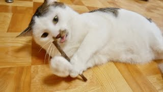 初めてのマタタビに興奮収まらない猫